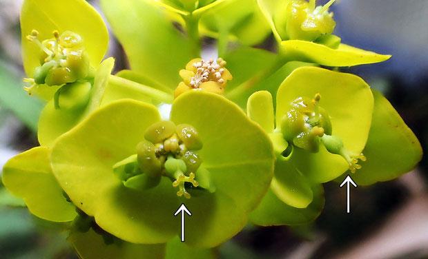 ハギクソウの花の構造−5