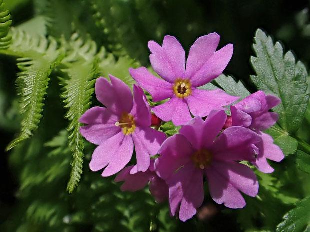オオサクラソウにも長花柱花と短花柱花があるようだ。 この花は花柱が飛び出している長花柱花