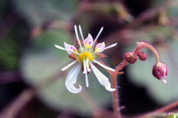 #11 下側2花弁を持つホシザキユキノシタの花