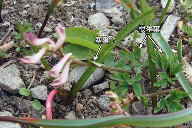 #3 ジロボウエンゴサクの根生葉と茎葉?  2008.03.23 埼玉県さいたま市 alt=7m