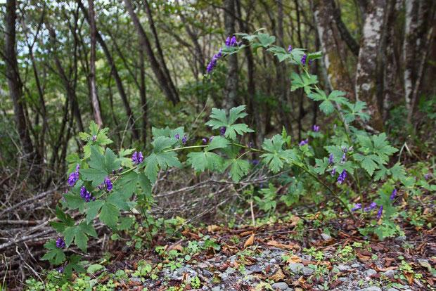 トリカブトの仲間  花柄の毛を見ると、いくつかの自然交雑種が混生しているようです