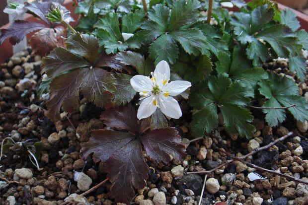 キタヤマオウレンとされる植物。 黄色い花弁の形状など、詳しく見る必要がありそうです