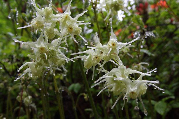 キバナイカリソウの花は、クリーム色。 とっても不思議な形です。