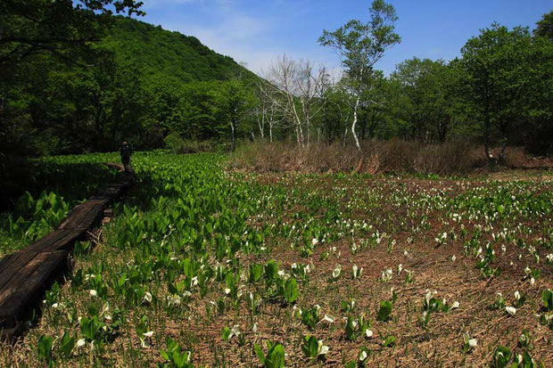 ミズバショウ (水芭蕉) サトイモ科 ミズバショウ属  湿原全体にたくさん咲いていた