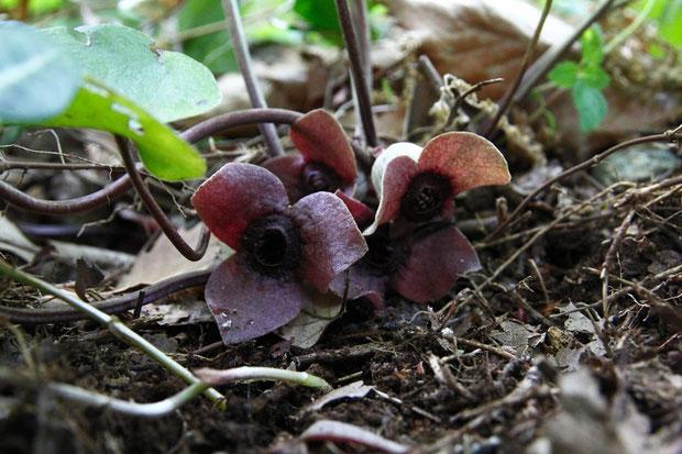 ランヨウアオイの花