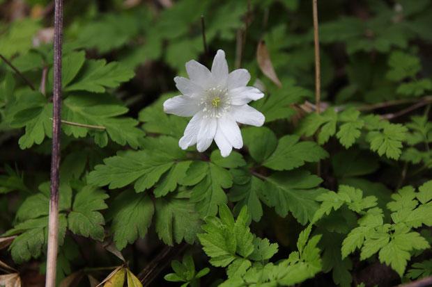 キクザキイチゲ (菊咲一華) キンポウゲ科 イチリンソウ属  花糸は基部まで白い