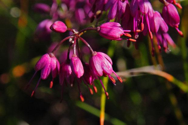 キイイトラッキョウの花冠は鮮やかな紅紫色、葯はオレンジ色