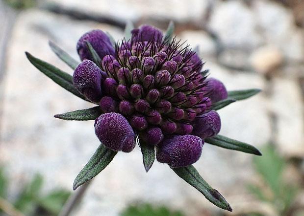 タカネマツムシソウの蕾 面白い姿 開花した花もこの色に近かった