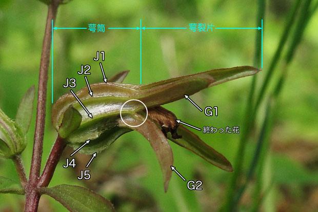 #7 クチナシグサの萼筒の条(J)と萼裂片(G)の様子
