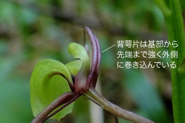 シテンクモキリの花の背面2