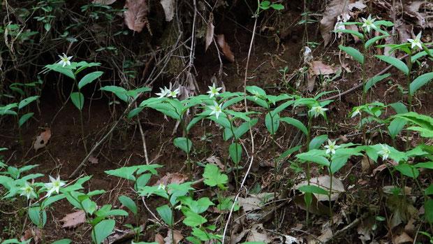 チゴユリ (稚児百合) イヌサフラン科 チゴユリ属