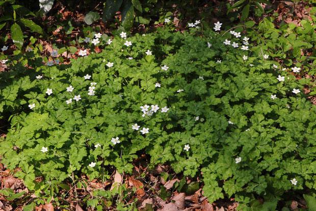 ニリンソウ (二輪草) キンポウゲ科 イチリンソウ属  数は少ないが元気に咲いていた