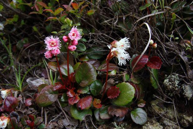 淡紅色の花は大きさや葉の形状がヒメイワカガミと同じ。関東地方北部にもこのような花色が存在する?