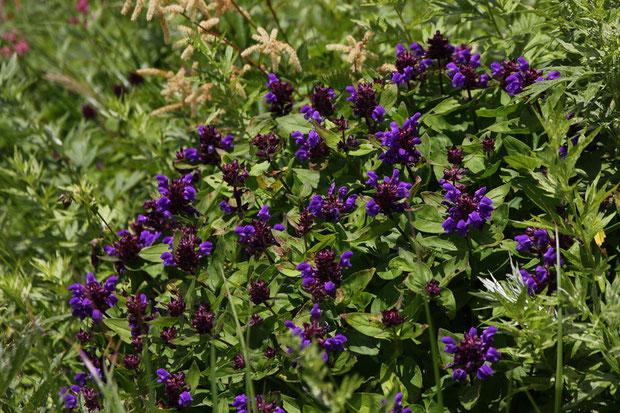 タテヤマウツボグサ (立山靭草) シソ科 ウツボグサ属  花色が非常に濃かった