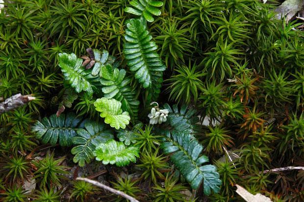 オサバグサの幼体 まだ短い花茎の先にツボミをたくさんつけている。 葉はどうしてもシダに見える