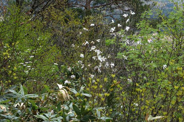 タムシバ、オオカメノキなどの木の花も春の山に彩りを加える