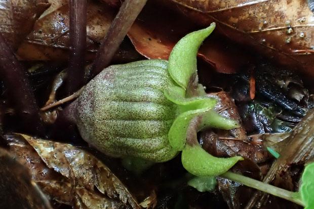 トウゴクサイシンの4裂花の側面  萼筒の形状はおかしくないと思われますが...