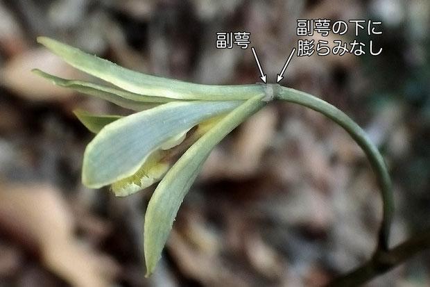 ムヨウランの副萼の下は、膨らまない  2016.06.04 東京都