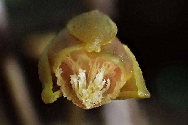 唇弁の毛のそれぞれに、さらに微細な毛状突起が生えていた