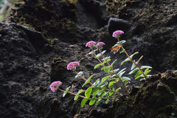 ネットで検索しても野生種のエッチュウミセバヤの画像はほとんど見当たらない。 それほど数が少ないということか