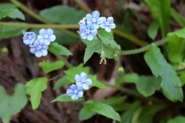 ヤマルリソウ (山瑠璃草) ムラサキ科 ルリソウ属  この辺りではよく見られる