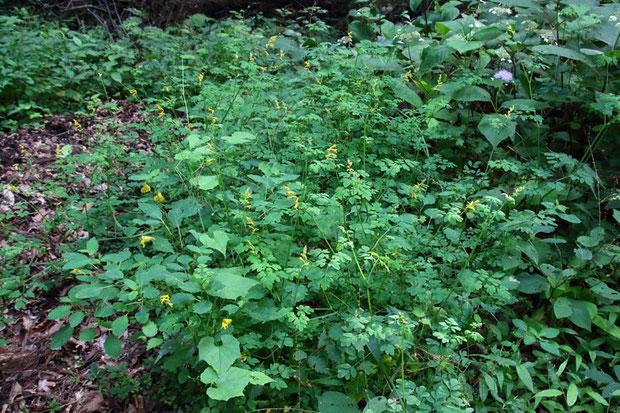 ツルケマン (蔓華曼) ケシ科 ツルキケマン属  絶滅危惧1B類の植物。 別名ツルキケマン