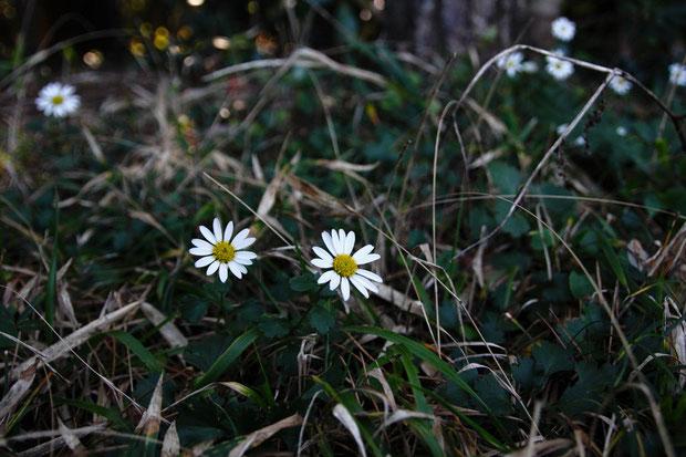 コハマギク (小浜菊) キク科 キク属  ハマギクのように海岸最前線ではなく、一歩引いた場所に咲く