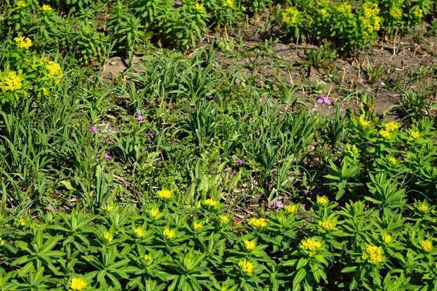 遠目ではあるが、それでも草体も花も小さいとわかる