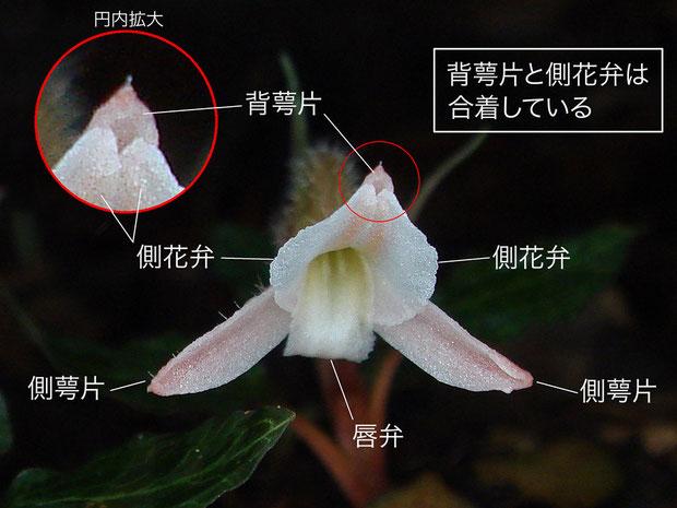 ベニシュスランの背萼片と側花弁は合着している(背萼片、側花弁、側萼片、唇弁)