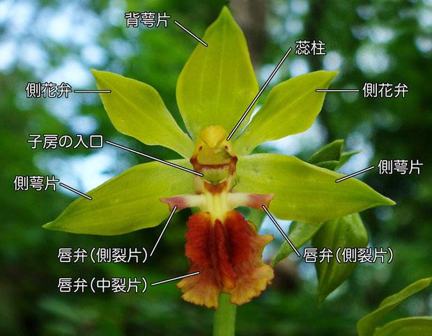 サルメンエビネの花の構造