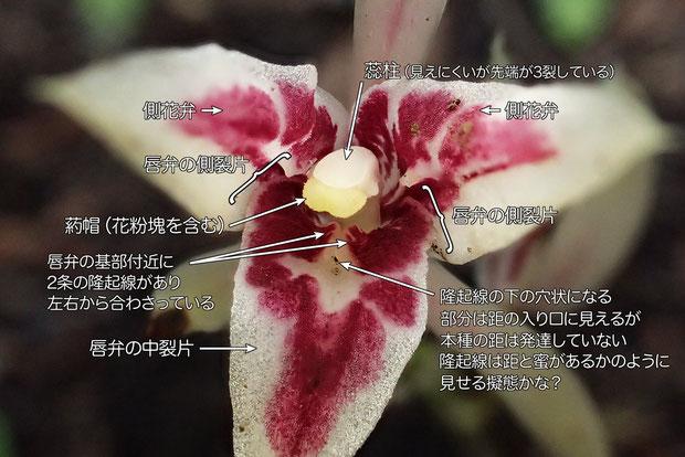 マヤランの花の構造:唇弁はごく浅く3裂する。 唇弁基部付近に2条の隆起があり左右から合わさる
