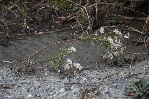かわいそうな姿にも見えますが、定期的な環境の撹乱は、この植物にとって必要なことだそうです