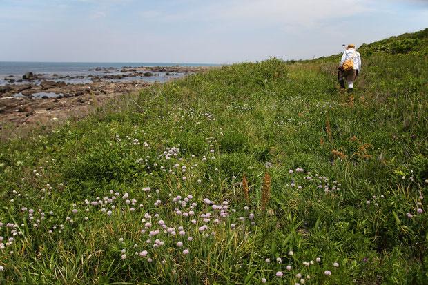 海岸近くの土砂が堆積した場所に、アサツキが群生していた