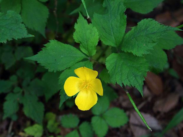 ヤマブキに似ているのでヤマブキソウの名がつきましたが、バラ科のヤマブキは縁遠い植物です