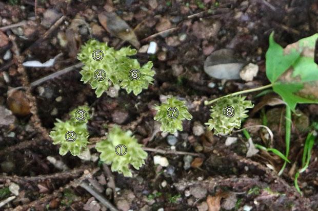 #2 カイサカネランは、小石混じりの硬い地面に咲いていた 2017.09.03 長野県 B