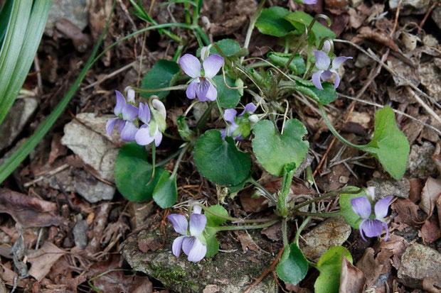アオイスミレ (葵菫) スミレ科 スミレ属  先週より花数が増えていた