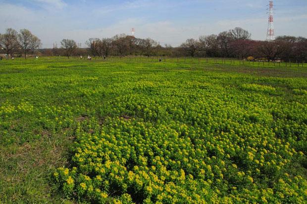 田島ヶ原 一面にノウルシが生える 近年は野焼きが行われるようになった 2015.03.28