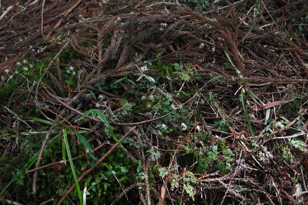 針葉樹林の中から登山道の真ん中まで、とにかくたくさん咲いていました