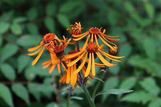 開花したコウリンカの花は、久しぶりに見た気がします