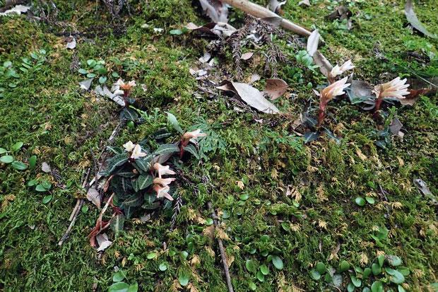 ベニシュスランが苔むした岩壁にたくさん咲いていてくれた!