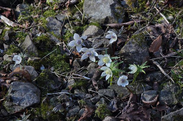 通常品の中に咲くシロバナセツブンソウ  2021.02.23 秩父市