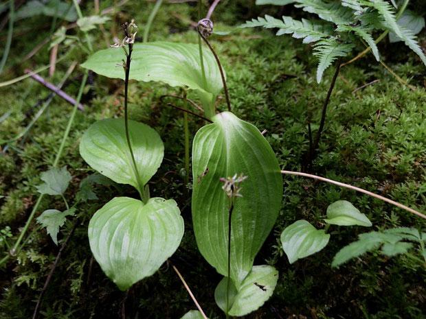 葉は2個で、広卵形で基部は心形、先は尖ります。表面の葉脈の間がくぼみ、ギボウシの葉を思わせます
