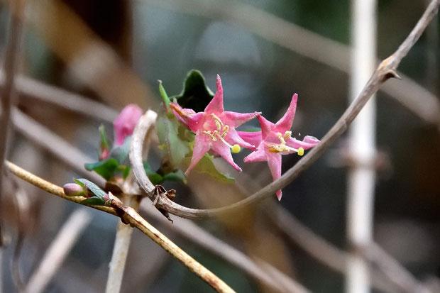 葉とともにウグイスカグラが花を咲かせていた。 本来4〜5月が花期なのですが...?