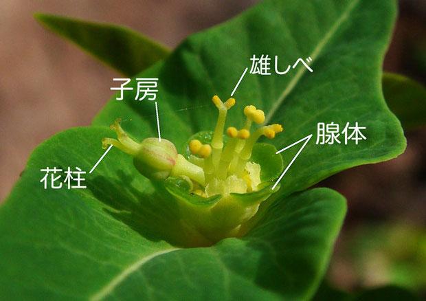 マルミノウルシの花序  2012.04.29