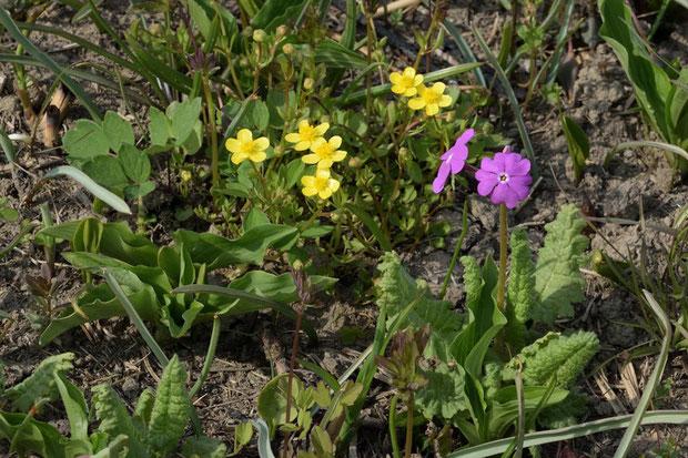 ヒキノカサ サクラソウとともに咲く