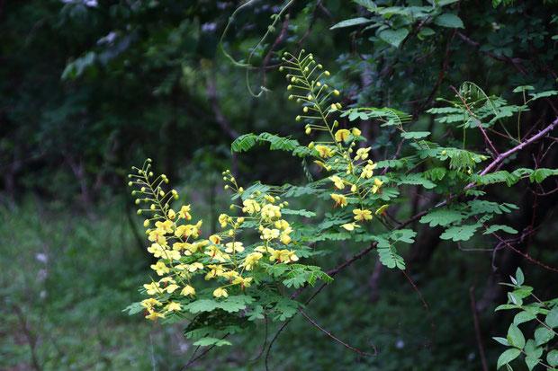 ジャケツイバラ いつも遠く高いところで咲く姿しか見ていませんでしたが、ここでは近くで見られました