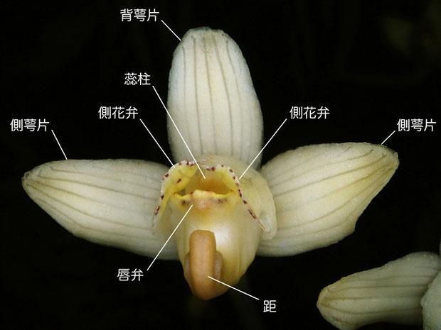 シナノショウキランの花の正面(背萼片、側花弁、側萼片、唇弁、蕊柱、距)