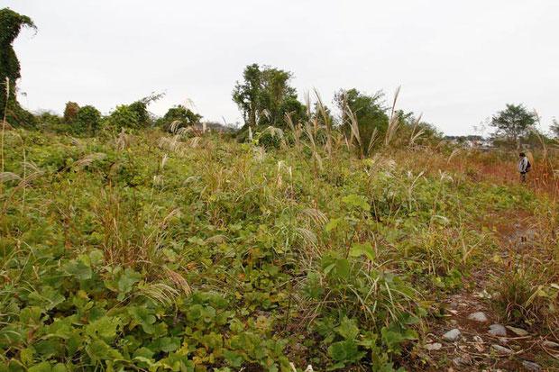 土砂が堆積し、クズやススキ、外来植物がはびこっていた。 カワラノギクの姿が見えない