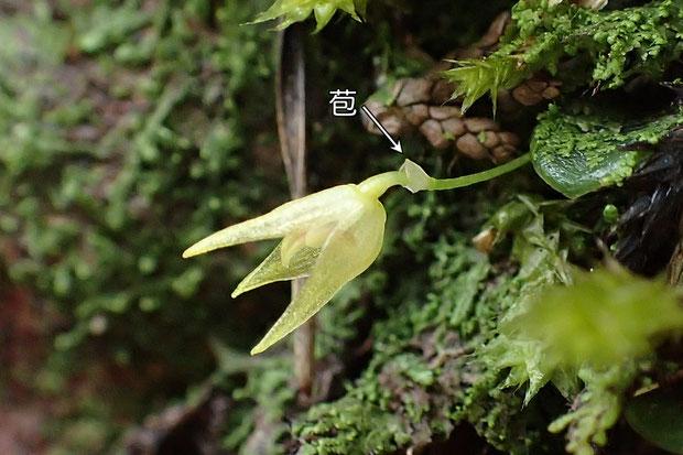 #15 マメヅタランの苞