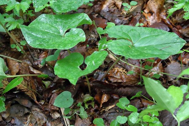 トウゴクサイシン  葉や全体の姿は周辺の株と変わらない。 しかし中央下にある花が...